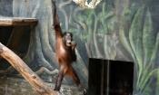 mały orangutan